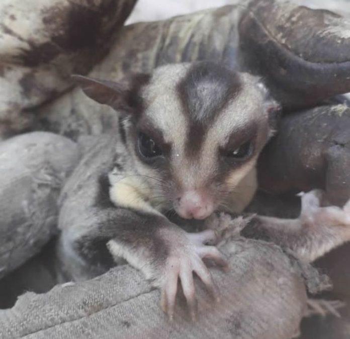 marsupial cba - Rescataron a un curioso marsupial australiano en Córdoba