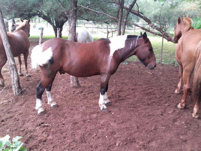 caballos recuperados - Fueron recuperados los cinco caballos que fueron robados de un campo de Falda del Carmen