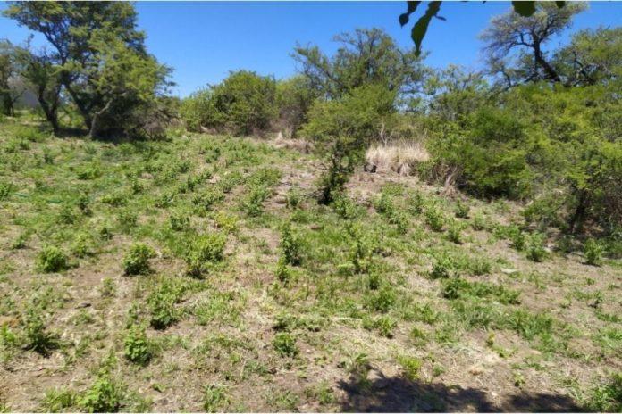 peperina provincia de cordoba - Se cultiva peperina a gran escala en un campo cordobés
