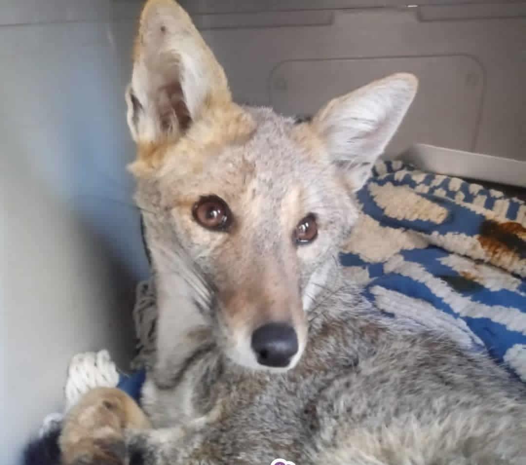zorrita gris adma - Voluntarios de ADMA rescataron una zorra gris